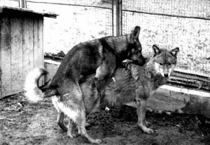 Lupo e cane accoppiamento