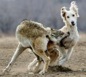 lupo cane 2