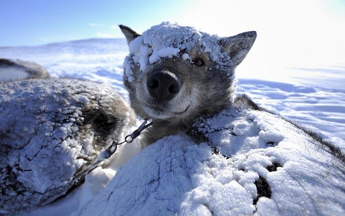 cane da slitta neve